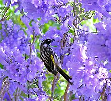 New Holland Honeyeater on Blue Jacaranda by Kumiko
