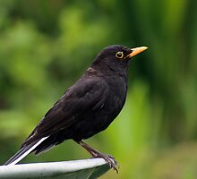 Blackbird on wheelbarrow by allisond