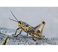 Painted Grasshopper Photographic Print