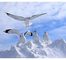 Arctic Gulls Photographic Print