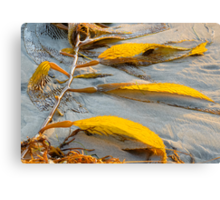 Golden Seaweed and Sunset.  Bacara Beach, Goleta, California Canvas Print