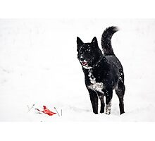 Dog plays in the snow Photographic Print