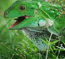 iguana @ Aruba by charon