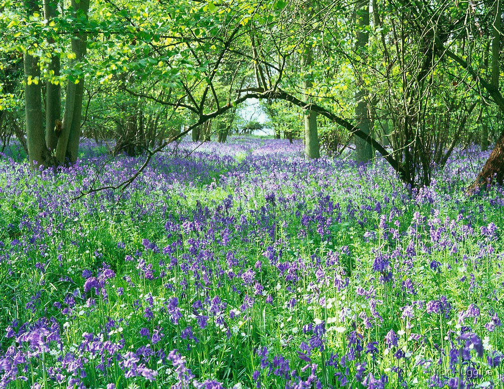 Bluebell Heaven by Nick Huggins