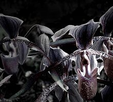 Wild Orchids (Lady's Slipper Orchids) by Carlo Cesar Rodillas