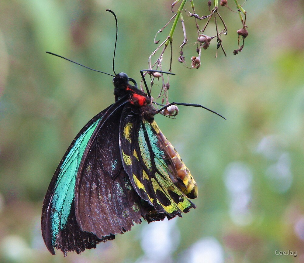 Birdwing Butterfly by CeeJay