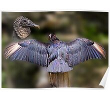 Black Vulture With Spread Wings Poster