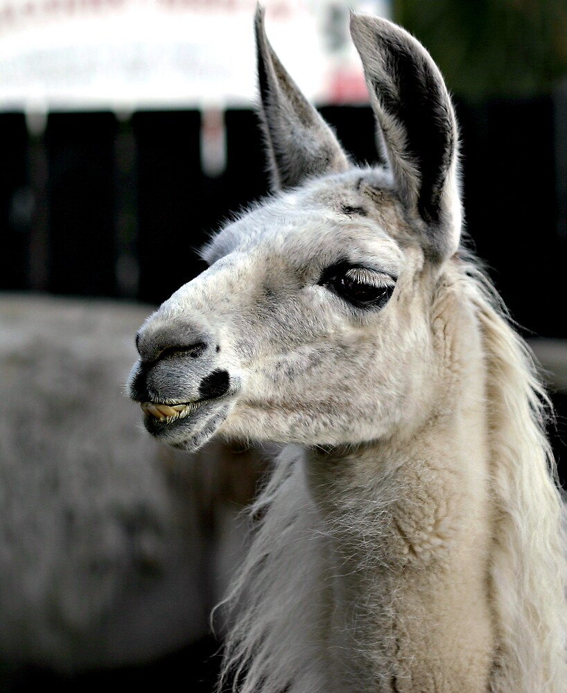 Grinning Llama by kitlew