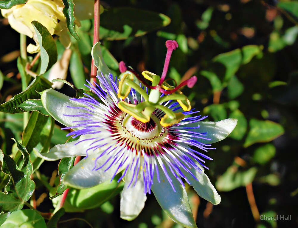 Passion Flower 6 by Cheryl Hall