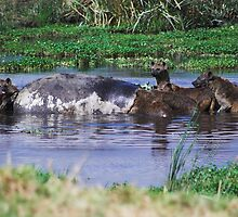 Hyenas eating a Hippo by Ryan Jennings