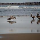 Pelicans by Sheri Bawtinheimer