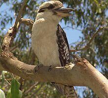 Kookaburra by Philbaust