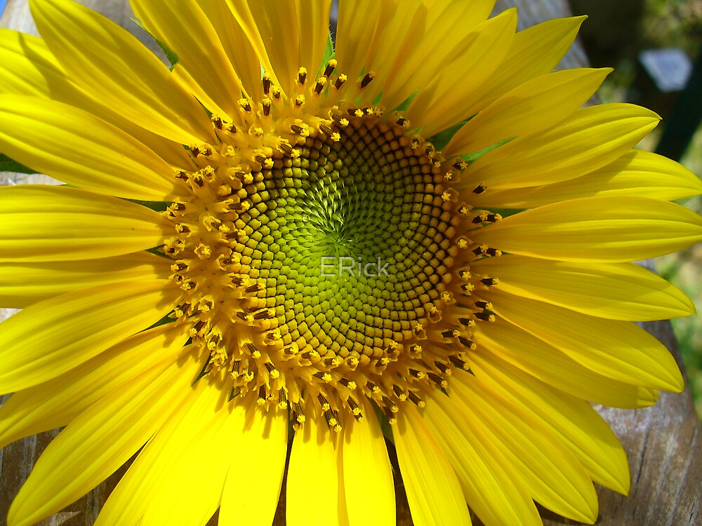 sunny flower by ERick