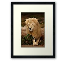 Lion - Bad Hair Day Framed Print