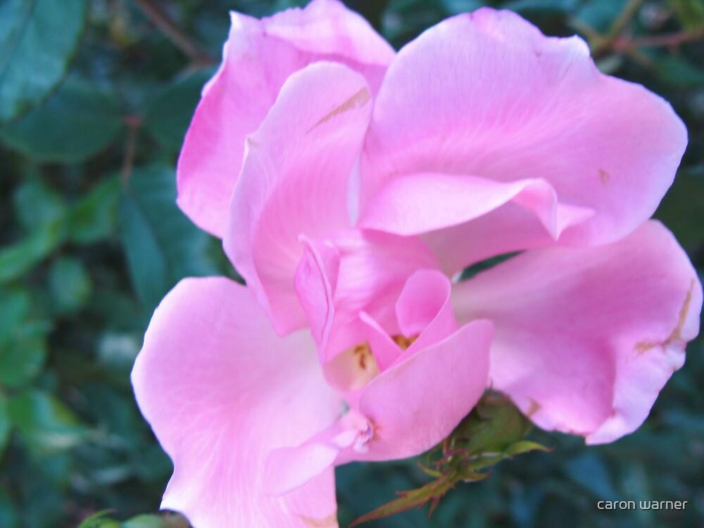 pink flower by caron warner