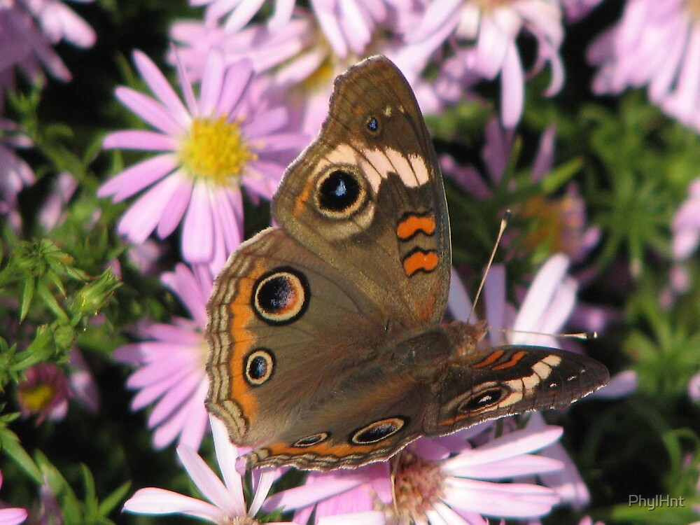 Buckeye Butterfly by PhylHnt