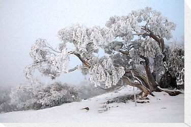 Snowbound Snowgum, Mt Feathertop, Australia by Michael Boniwell