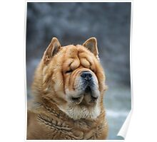 Chow-Chow portrait Poster