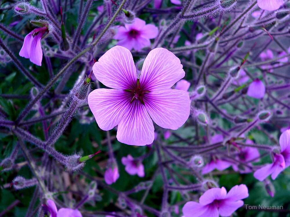 Geranium Maderense by Tom Newman