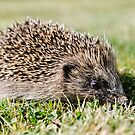 Hedgehog by JEZ22