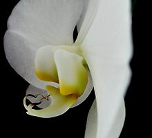 Orchid Lemon, Lime & White by Vanessa  Warren