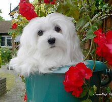 Snowdrop the Maltese in a Bucket by Morag Bates