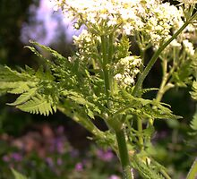Cow Parsley by myrnamarinda