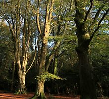 New Forest Beeches by ArtByMikeW