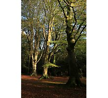 New Forest Beeches Photographic Print