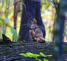ruffed grouse on log by cheltara