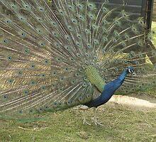 peacock by pandasue