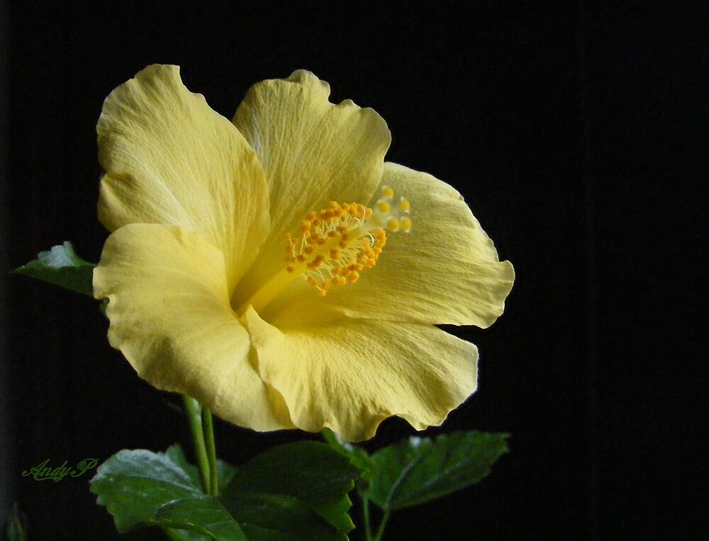 Yellow Tropical Hibiscus by Andy2302