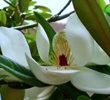 Magnificent Magnolia by Sharon Perrett