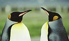 King Penguins by Steve Bulford