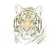 """Tiger"" Photographic Print"