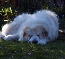 Zapp the pyrenian mountain dog napping by TE4SE