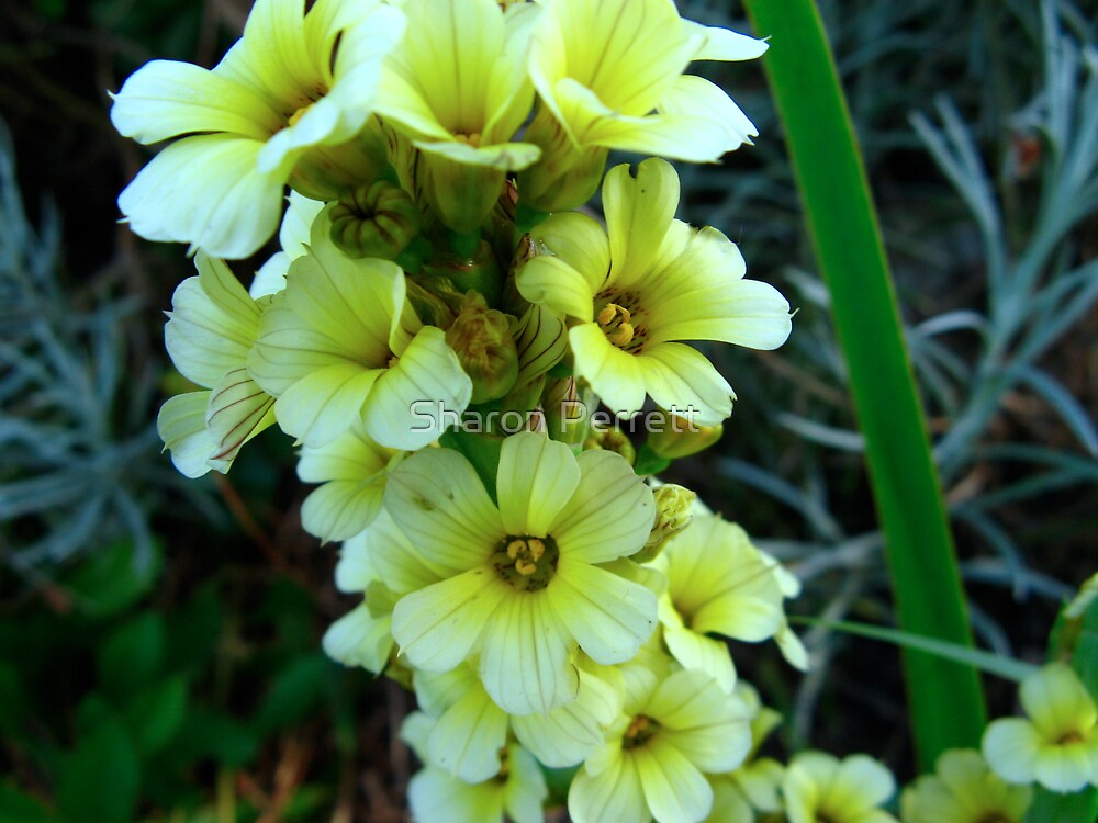 Mellow Yellow by Sharon Perrett