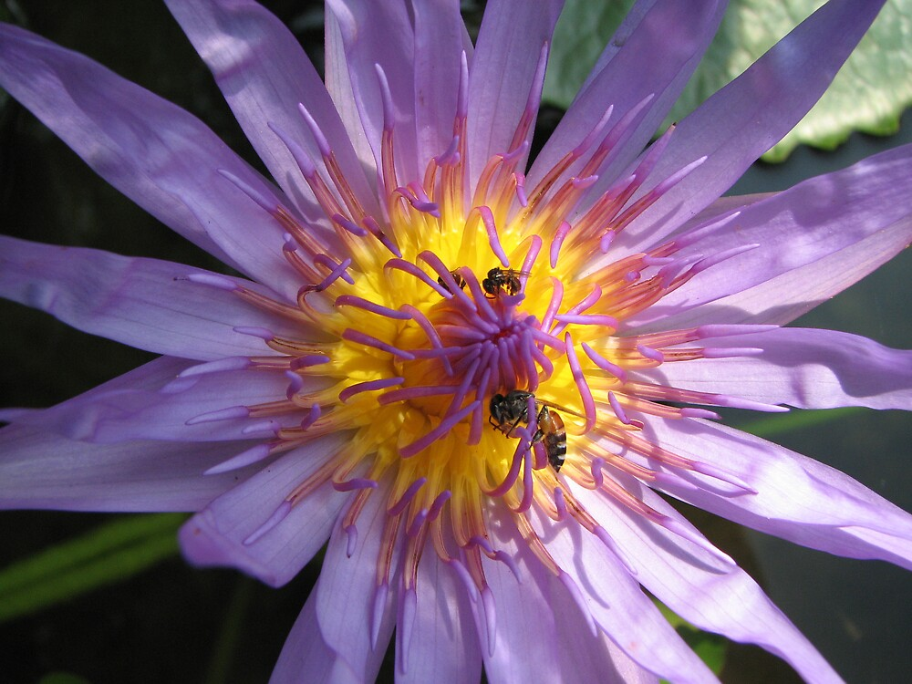 Waterlily with bees by Lise Kool