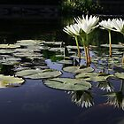 Lilypond by Nikki Trexel