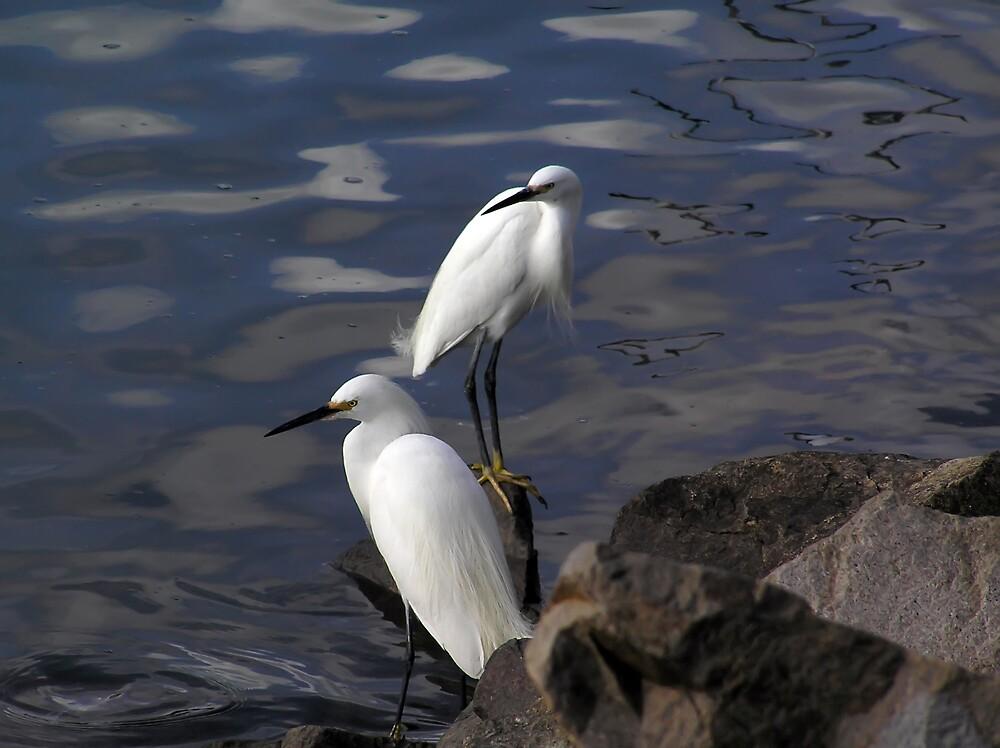 Snowy Egrets by Chuck Cannova