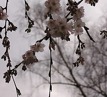 Central Park Cherrry Blossoms by LinaFrancisco