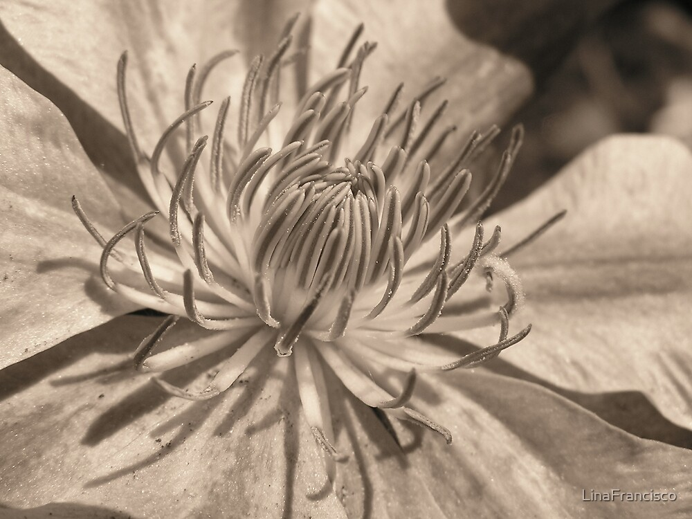 Clematis in Sepia by LinaFrancisco