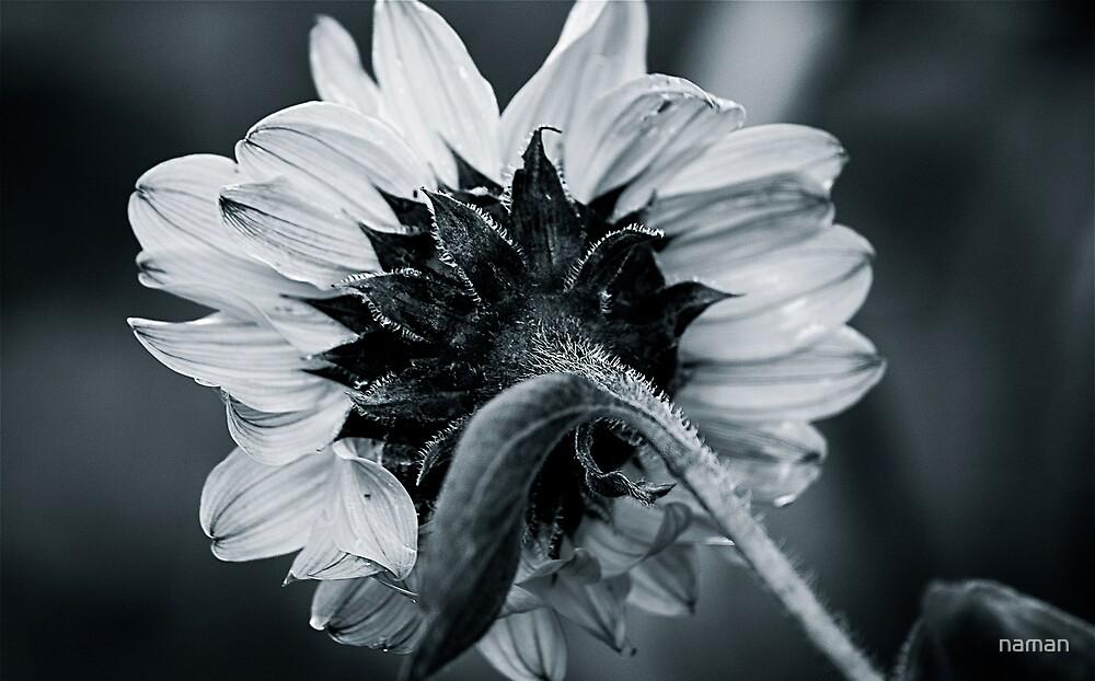 Sunflower B&W by naman