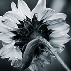Sunflower B&W by naman