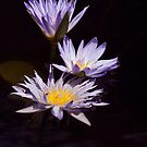 Waterlily trio by Sara Lamond
