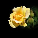 Yellow Rose by Sheryl Kasper