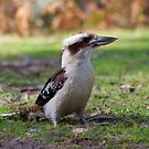 Kookaburra on the ground by robertp
