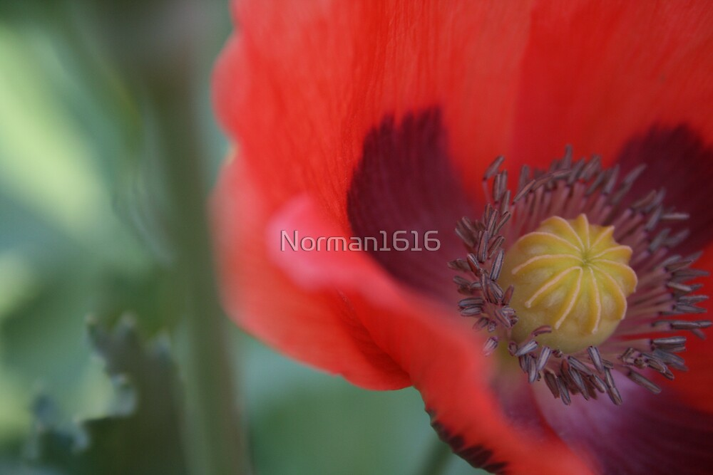 Poppey by Norman1616