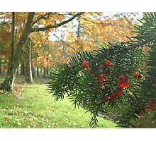 Yew and Autumn Colour Photographic Print