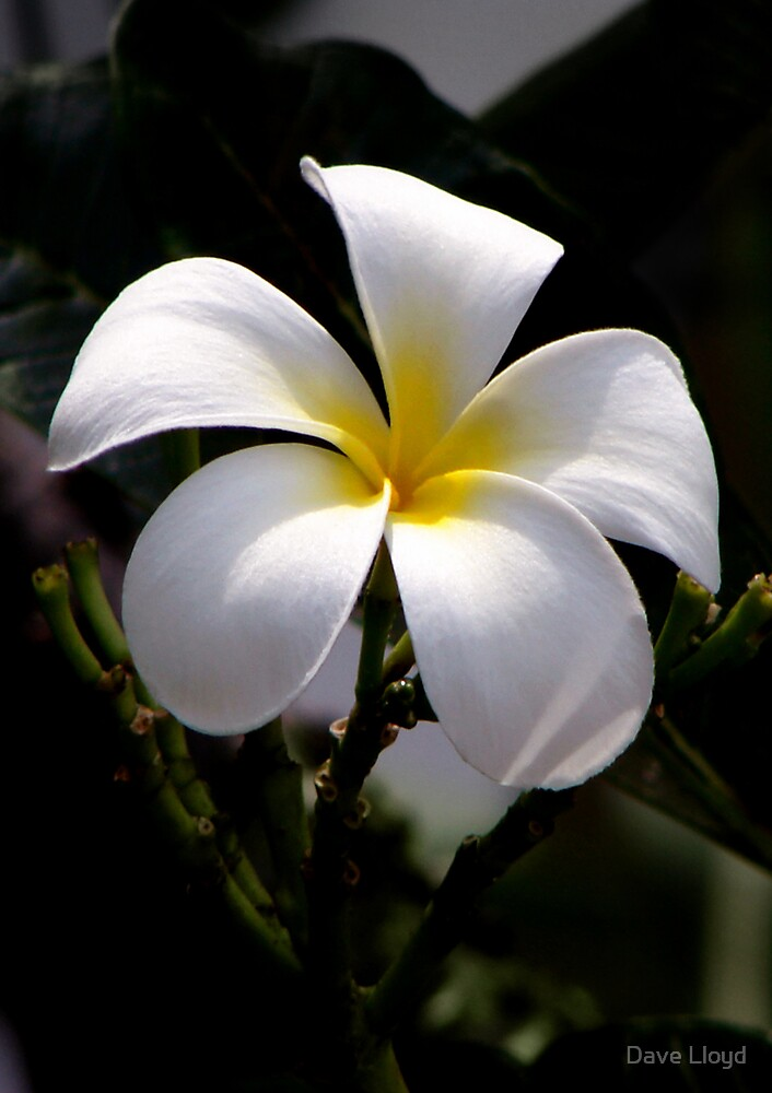 White Frangipani by Dave Lloyd
